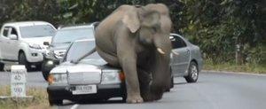 Un elefant confunda cateva masini cu perechea iubita