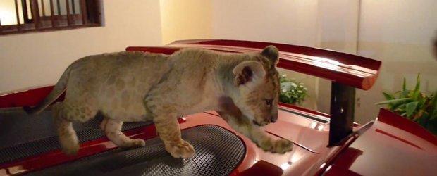 Arabii bogati nu au pisici, au pui de leu...
