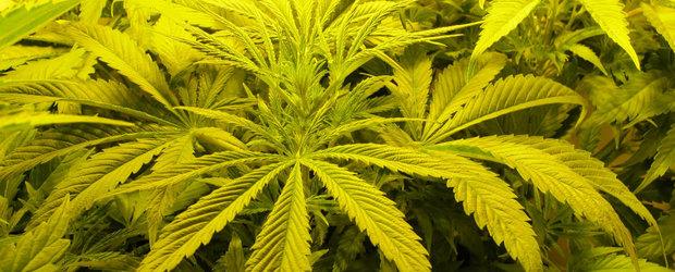 Ce se intampla cand conduci 'spart' de la Marijuana?