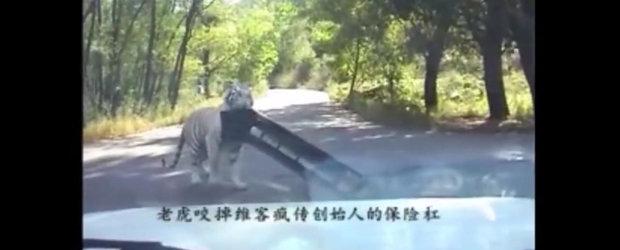 Cine l-ar putea opri?! Momentul in care... un tigru siberian 'fura' bara unui Volkswagen Jetta