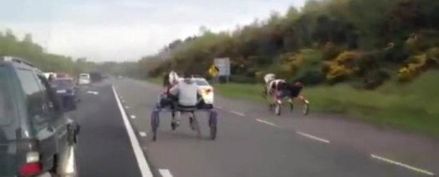 INCREDIBIL: Intrecere intre doua sarete pe o autostrada din Irlanda!